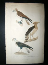 Cuvier C1835 Antique Hand Col Bird Print. Osprey, American Harpy, Common Caracara, 5